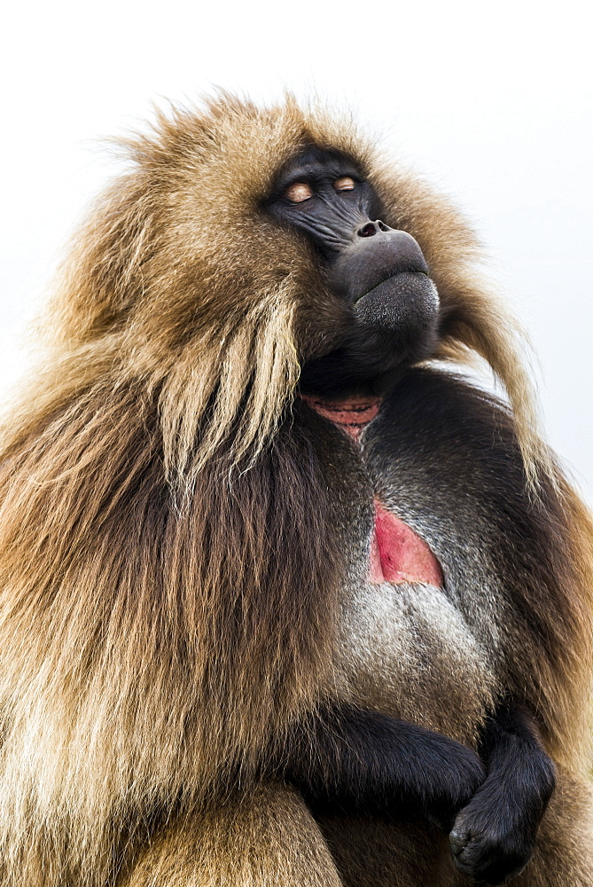 Male Gelada (Theropithecus gelada), Simien Mountains National Park, UNESCO World Heritage Site, Ethiopia, Africa