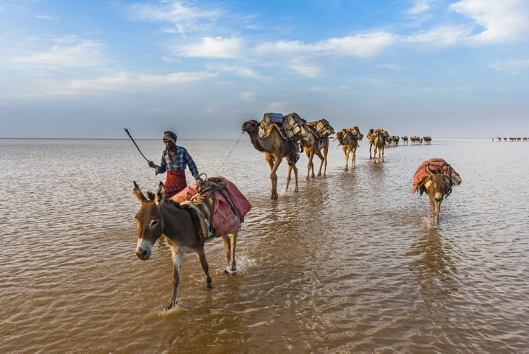 Camels loaded with pan of salt walking through a salt lake, Danakil depression, Ethiopia, Africa